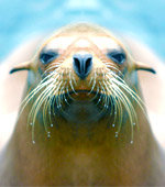 Steller Sea Lion in Alaska