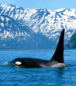Orca or Killer Whale in Alaska